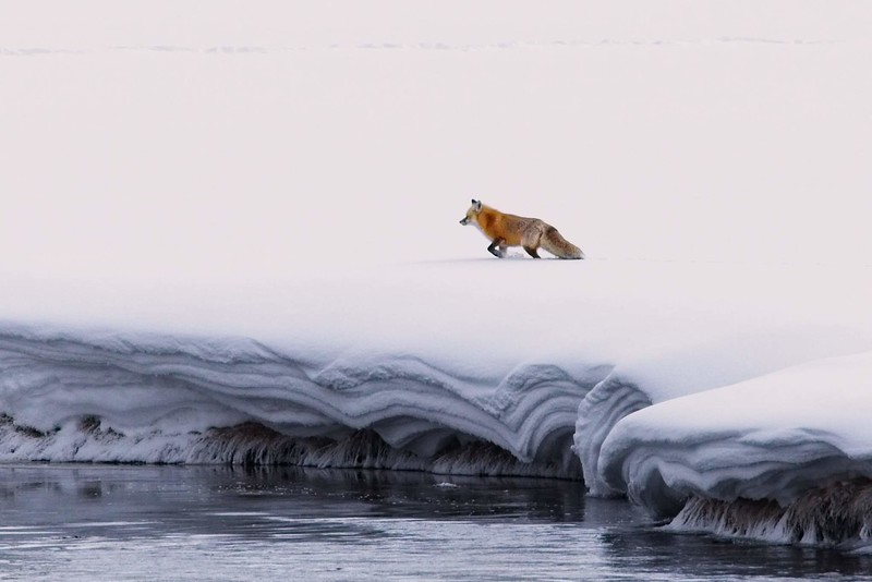 A red fox scouts the winter landscape for food in Yellowstone.<br /> Photo © Carl Clark