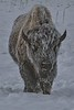A frosty bison in Yellowstone.<br /> Photo © Carl Clark