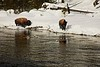Yellowstone bison graze along the Madison River.<br /> Photo © Carl Clark
