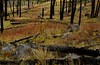 Autumn colors in a burned forest on the slopes of Devils Tower.<br /> Photo © Cindy Clark