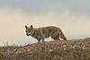 This coyote caused a huge commotion in the prairie dog town he was checking out.<br /> Photo © Carl Clark