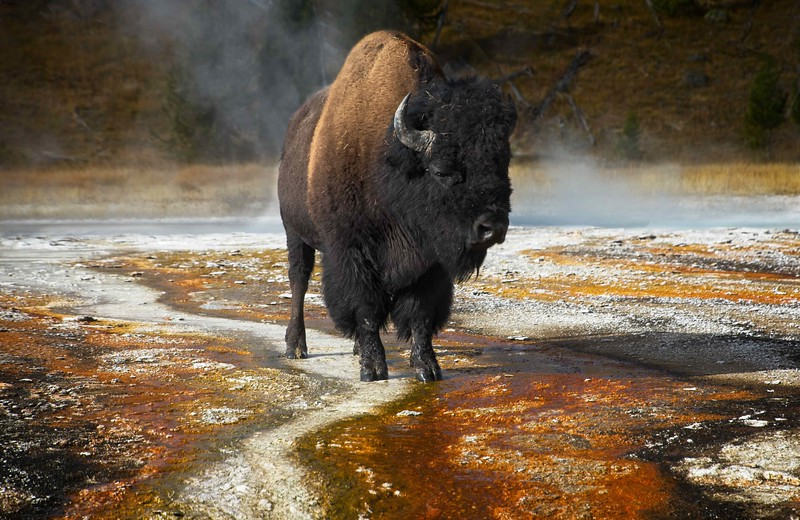 We were so fortunate this bison posed on a colorful area in Yellowstone National Park.<br /> Photo © Cindy Clark