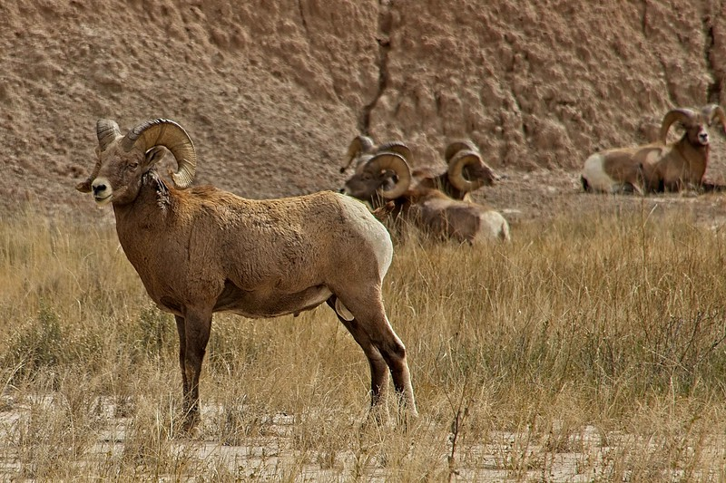 This guy kept an eye on us when we encountered a group of nine bighorn sheep near a trail in the Badlands.<br /> Photo © Carl Clark
