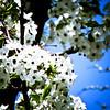 Blossoms.
