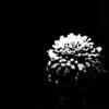 Dark dried flower.