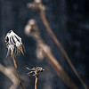 Dandelion death.
