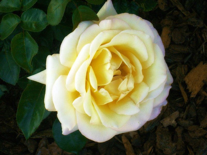 White and Yellow Rose