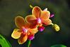 Cristina's Orchid