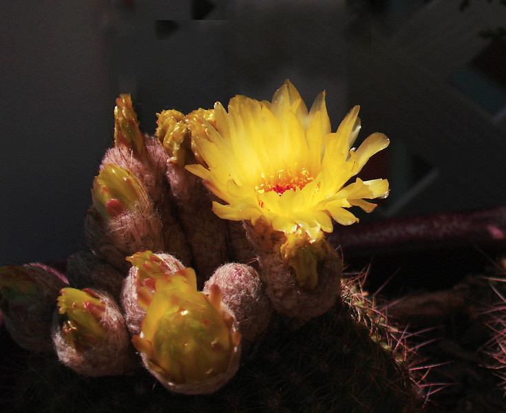 Orangeland Cactus Bloom