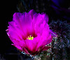Phoenix Cactus Bloom