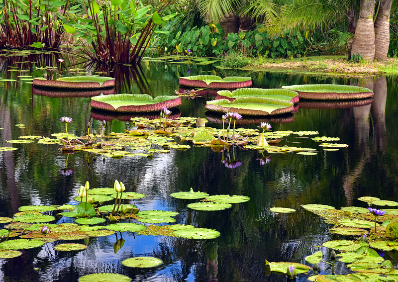 Victoria Amazonica Pads