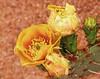 chr Desert Flower