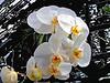 Orchid in Spokane