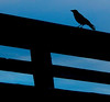One old crow<br /> sat on a fence post