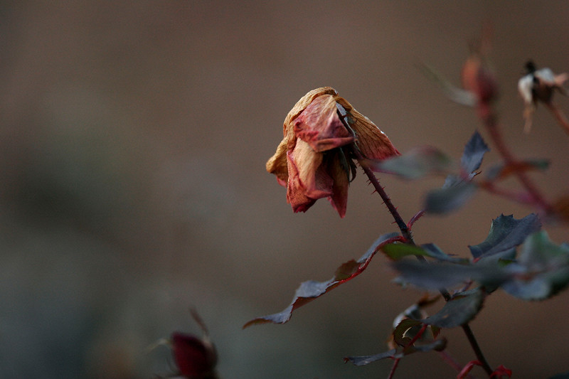 Face The Face<br /> A Rose by any other name - at Chastain Park #1