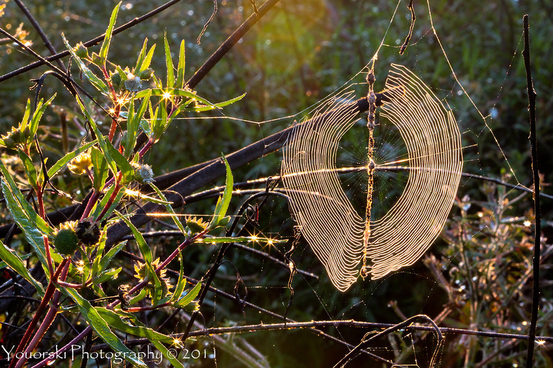i had to climb into the lagoon to get this shot. The web is only about 3 inches long. Lovely morning at the golf club.