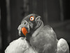 King Vulture BW+1