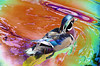 Wood Duck in Color 16x20   $295