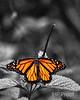 Monarch II BW+1