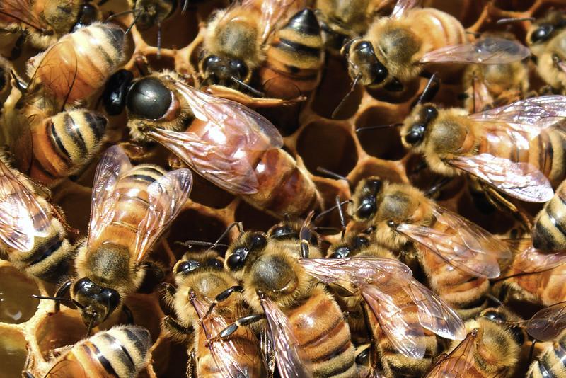 Queen bee and worker honey bees