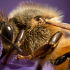Honey bee closeup