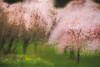 Softly Spoken<br /> <br /> The beautiful strands of pink cherry blossoms take on a soft romantic mood on an overcast April morning in Vancouver's Stanley Park.