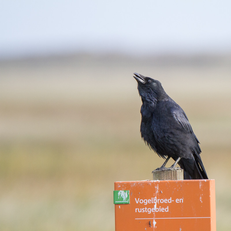 Western Jackdaw, Corvus Monedula