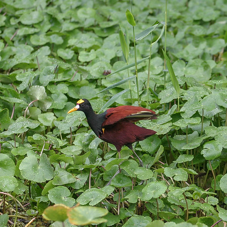 Northern Jacana, Jacana Spinosa
