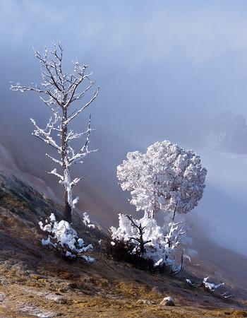 Two White Trees