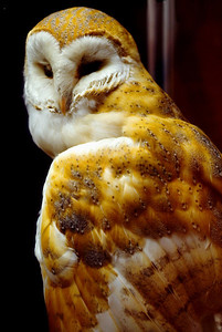 Owl. Royal Albert Museum, Exeter, England. 1983.