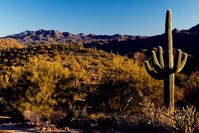 Sonoran desert with saguaro cacti, south of Phoenix, Arizona. 1987.