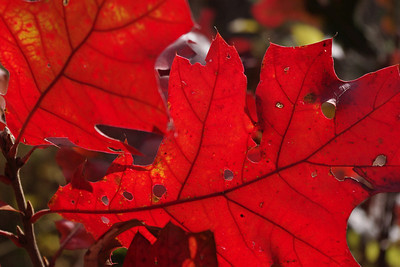 Oak leaf detail, red fall color. Wilson's Creek National Battlefield, SW of Springfield, Missouri.