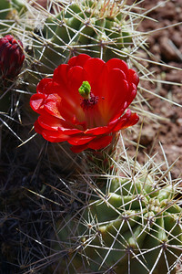Claret Cup cactus flower, Trail to Fisher Towers, NE of Moab, Utah.