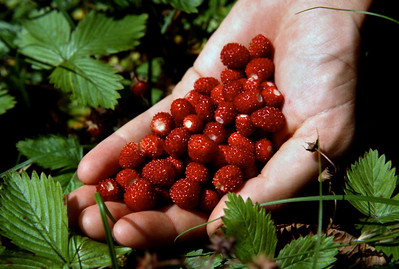 Wild strawberries, Switzerland. 1983.