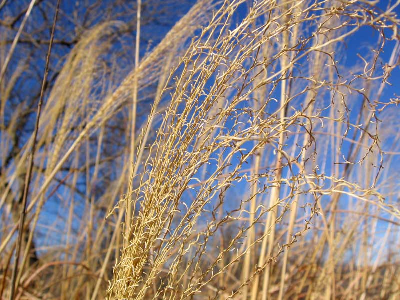 Taken on the first day of February 2006.<br /> The sky was very blue and clear; a nice day all around.<br /> The tall grass spikes in the foreground are zebra grass<br /> and the tree in the left background is a hedge tree.