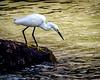 2012_04__IGP5686_Hunting Egret