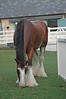 Jake - one of the Budweiser Clydesdales at Busch Gardens, VA