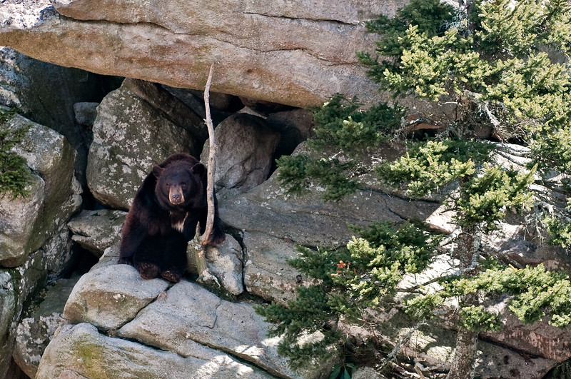 Bear at Grandfather Mountain, North Carolina
