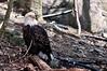 Eagle on Grandfather Mountain, North Carolina