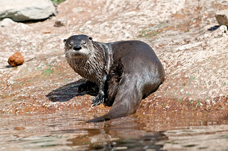 Grandfather Mountain Otter