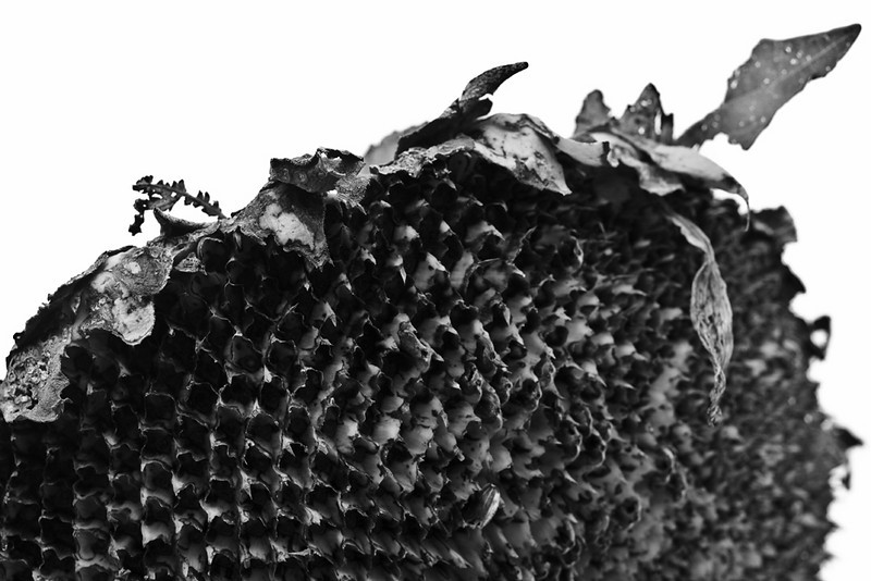 Dried sunflower.