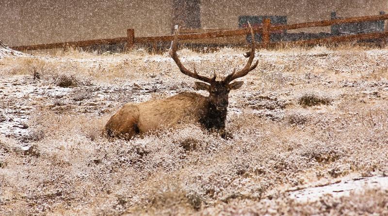 Snowy deer.