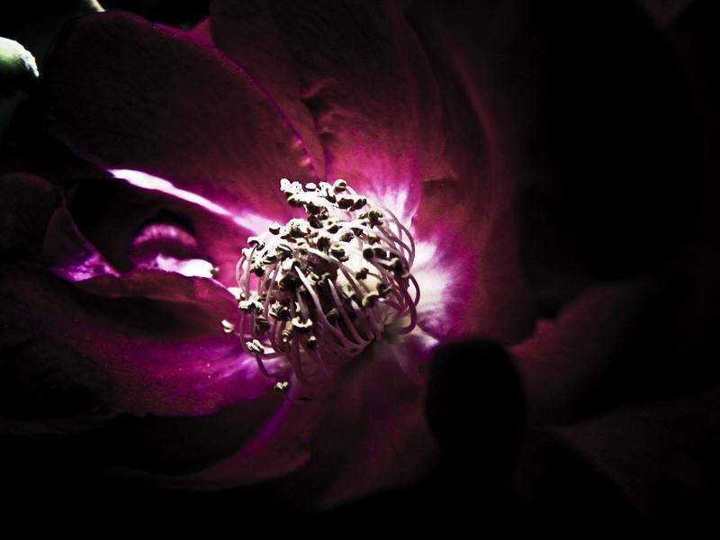 Fuchsia Flower.
