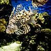 Lionfish.