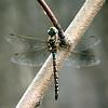 Vanessa's Dragonfly.