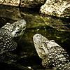Gators.