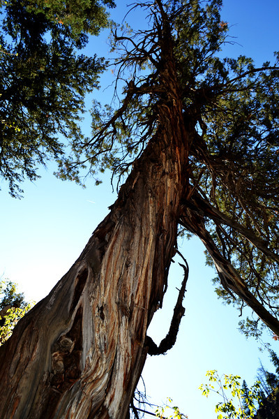 Unusual Tree Growth on the Trail to Hanging Lake near Glenwood Springs