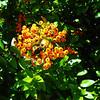 Fall Berries near Glenwood Springs Colorado