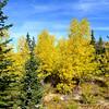Fall Aspen and Green Evergreen near Vail Colorado