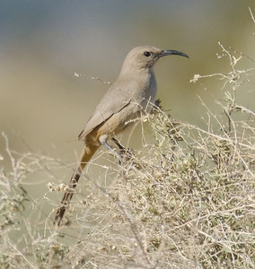 LeConte's Thrasher Borrego Springs 2-13-11